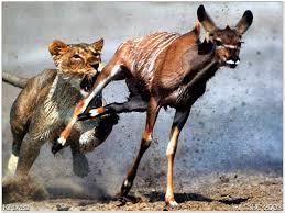 A gazela e o Leão